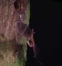 Bild Wasserfledermaus (E. Menz)