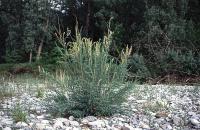 Bild Deutsche Tamariske (Myricaria germanica)