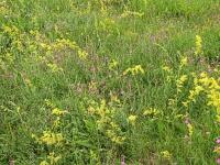 Bild Artenreiche Blumenwiese - ca. 8 Jahre, nachdem auf diesem Stadort eine dichte Fichten-Monokultur gerodet wurde.