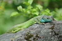 Bild Smaragdeidechsen-Männchen