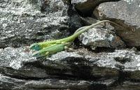 Bild Smaragdeidechsen-Pärchen