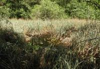 Bild Moorgewässer mit Vorkommen der Großen Moosjungfer