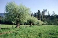 Bild Naturdenkmal Kopfweidenbestand bei Glanegg.