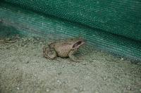 Bild Springfrosch vor einem Amphibienzaun
