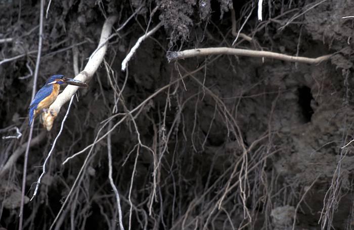 Weblog » Eisvogel – Vogel des Jahres 2009   Arge NATURSCHUTZ
